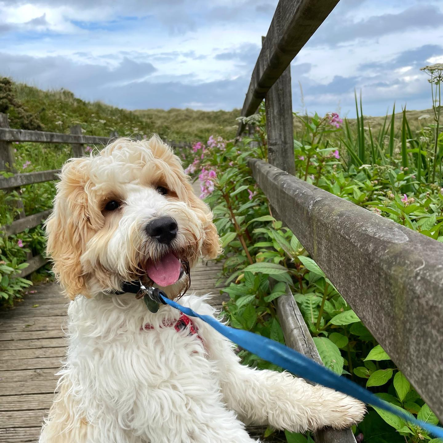 The last week has been spent on the north coast, with lots and lots puppy walks. When I dreamed of getting a puppy this was exactly what I was looking forward to - coastal walks, taking photos, meeting lots of other dogs and their owners …. having lots of chats about breeds, size and fluffy fur coats!